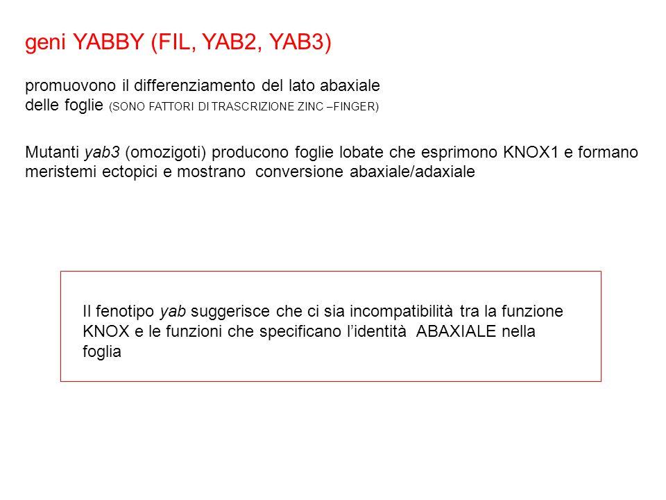 geni YABBY (FIL, YAB2, YAB3) promuovono il differenziamento del lato abaxiale delle foglie (SONO FATTORI DI TRASCRIZIONE ZINC –FINGER) Mutanti yab3 (o