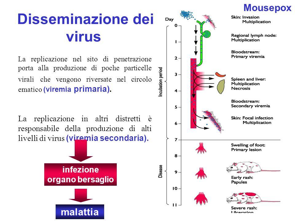 16 Disseminazione dei virus La replicazione nel sito di penetrazione porta alla produzione di poche particelle virali che vengono riversate nel circol