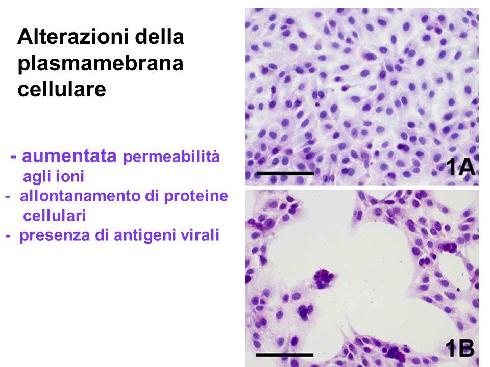 6 Alterazioni della plasmamebrana cellulare - aumentata permeabilità agli ioni - allontanamento di proteine cellulari - presenza di antigeni virali