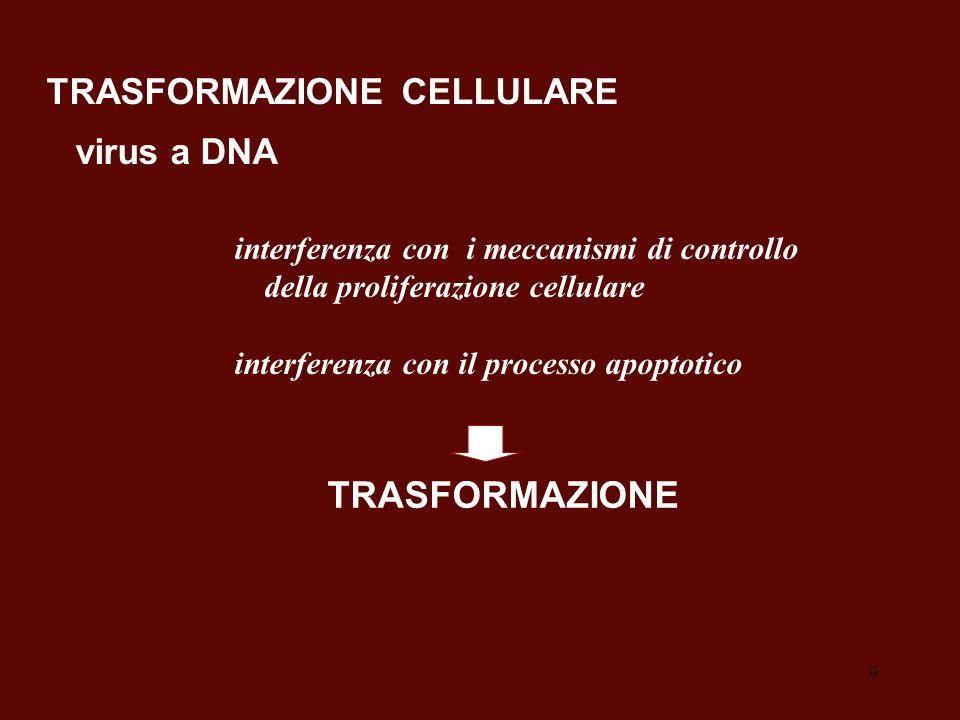 9 interferenza con i meccanismi di controllo della proliferazione cellulare interferenza con il processo apoptotico TRASFORMAZIONE TRASFORMAZIONE CELL