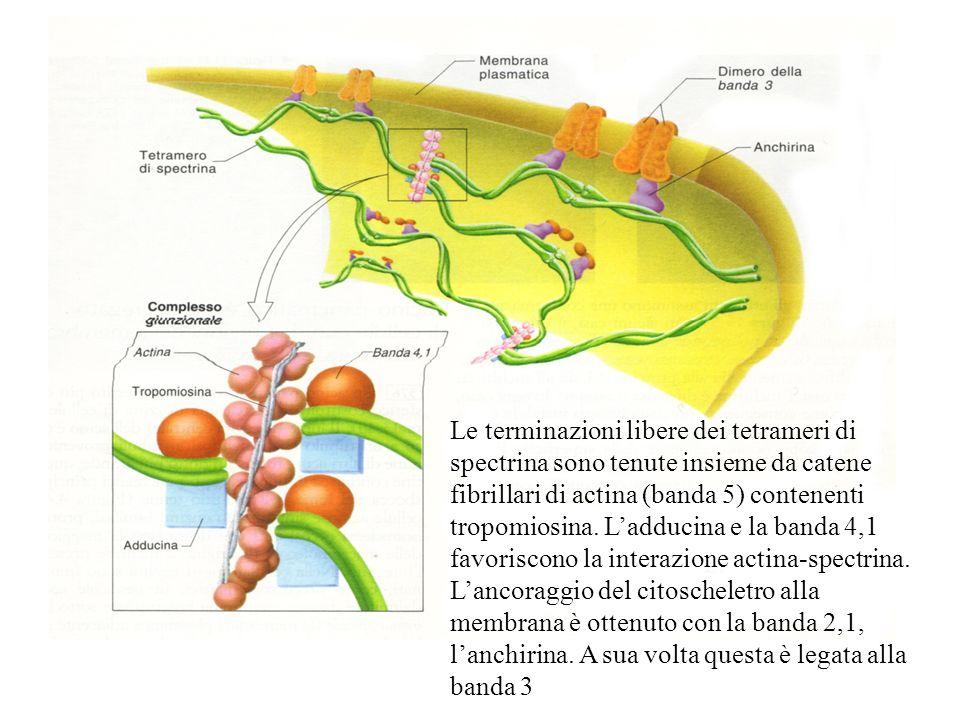 Le terminazioni libere dei tetrameri di spectrina sono tenute insieme da catene fibrillari di actina (banda 5) contenenti tropomiosina. Ladducina e la