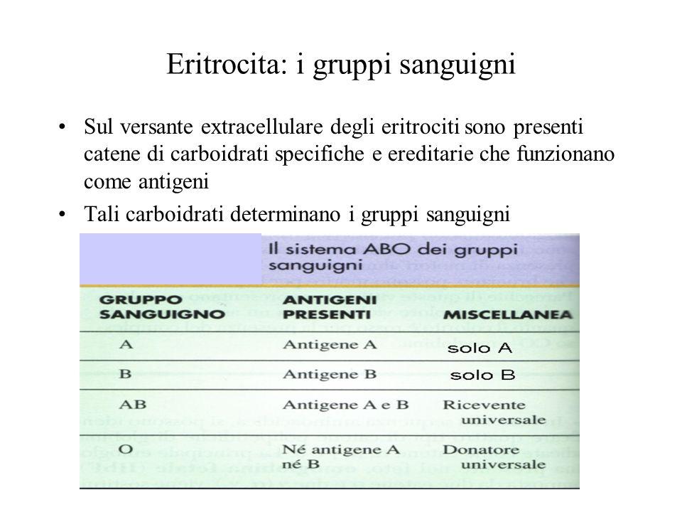 Eritrocita: i gruppi sanguigni Sul versante extracellulare degli eritrociti sono presenti catene di carboidrati specifiche e ereditarie che funzionano