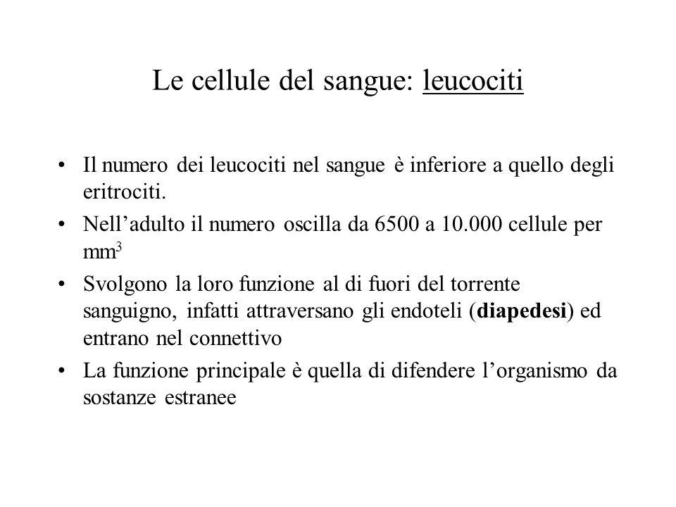 Le cellule del sangue: leucociti Il numero dei leucociti nel sangue è inferiore a quello degli eritrociti. Nelladulto il numero oscilla da 6500 a 10.0