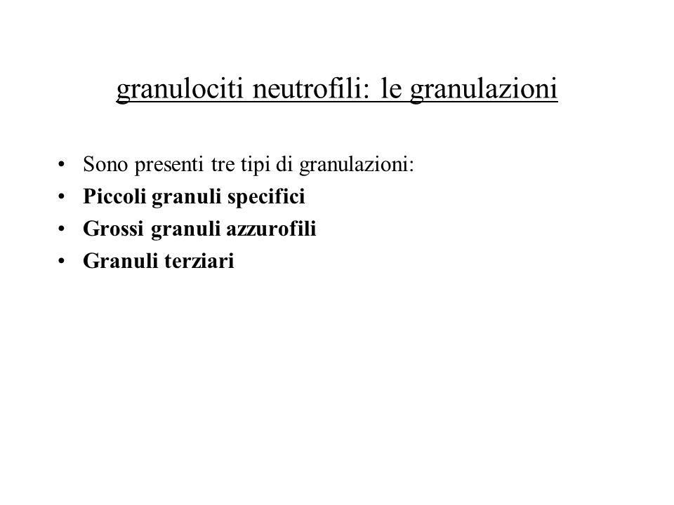 granulociti neutrofili: le granulazioni Sono presenti tre tipi di granulazioni: Piccoli granuli specifici Grossi granuli azzurofili Granuli terziari