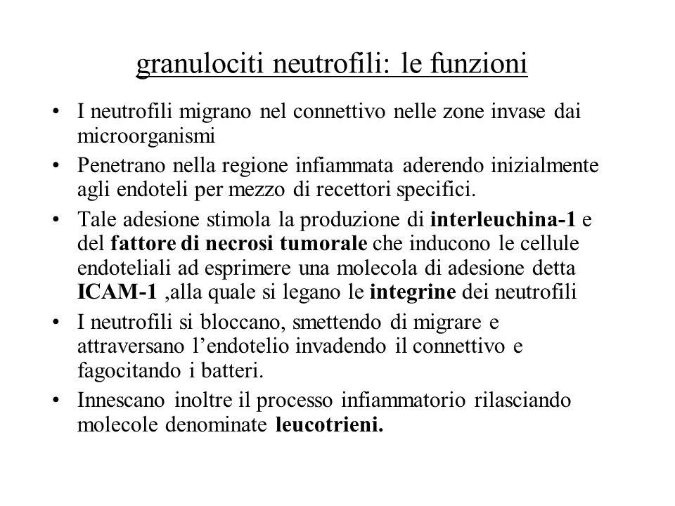 granulociti neutrofili: le funzioni I neutrofili migrano nel connettivo nelle zone invase dai microorganismi Penetrano nella regione infiammata aderen