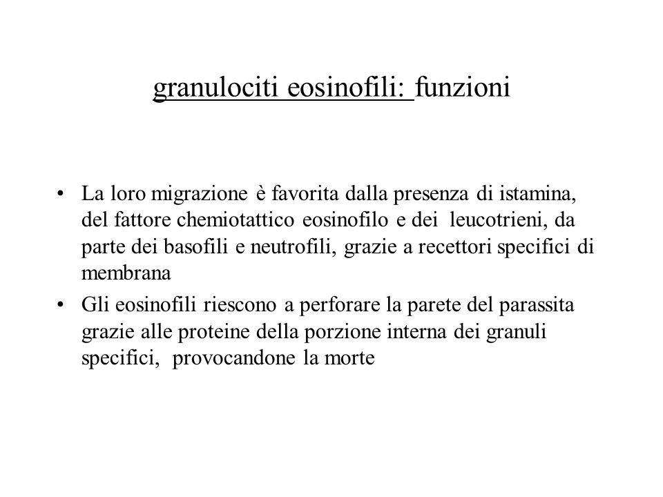 granulociti eosinofili: funzioni La loro migrazione è favorita dalla presenza di istamina, del fattore chemiotattico eosinofilo e dei leucotrieni, da