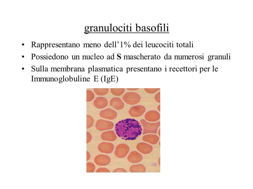 granulociti basofili Rappresentano meno dell1% dei leucociti totali Possiedono un nucleo ad S mascherato da numerosi granuli Sulla membrana plasmatica