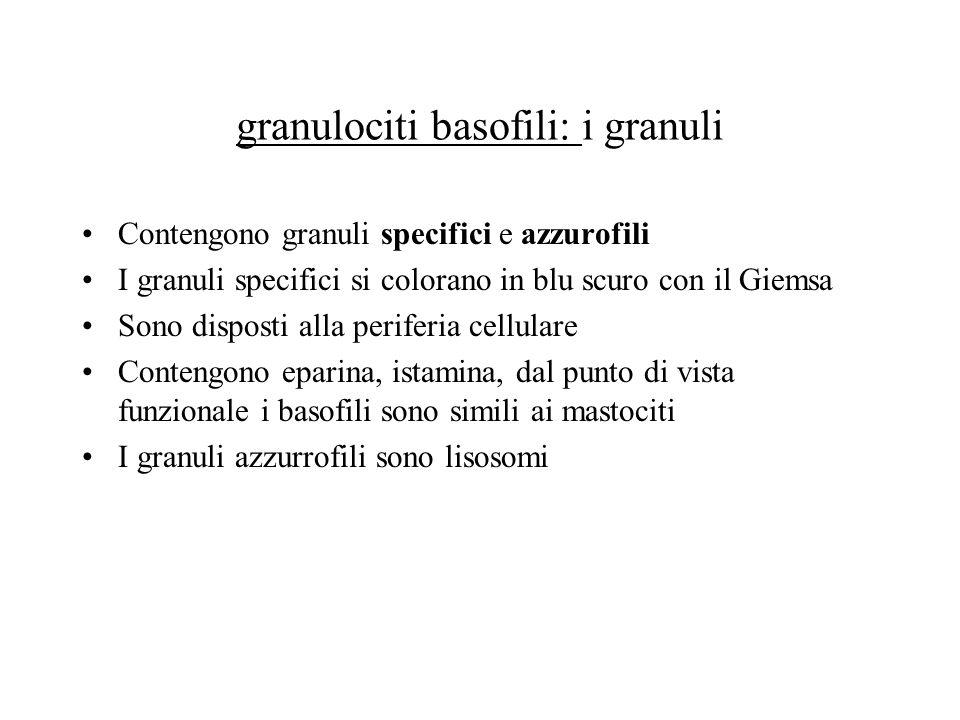 granulociti basofili: i granuli Contengono granuli specifici e azzurofili I granuli specifici si colorano in blu scuro con il Giemsa Sono disposti all