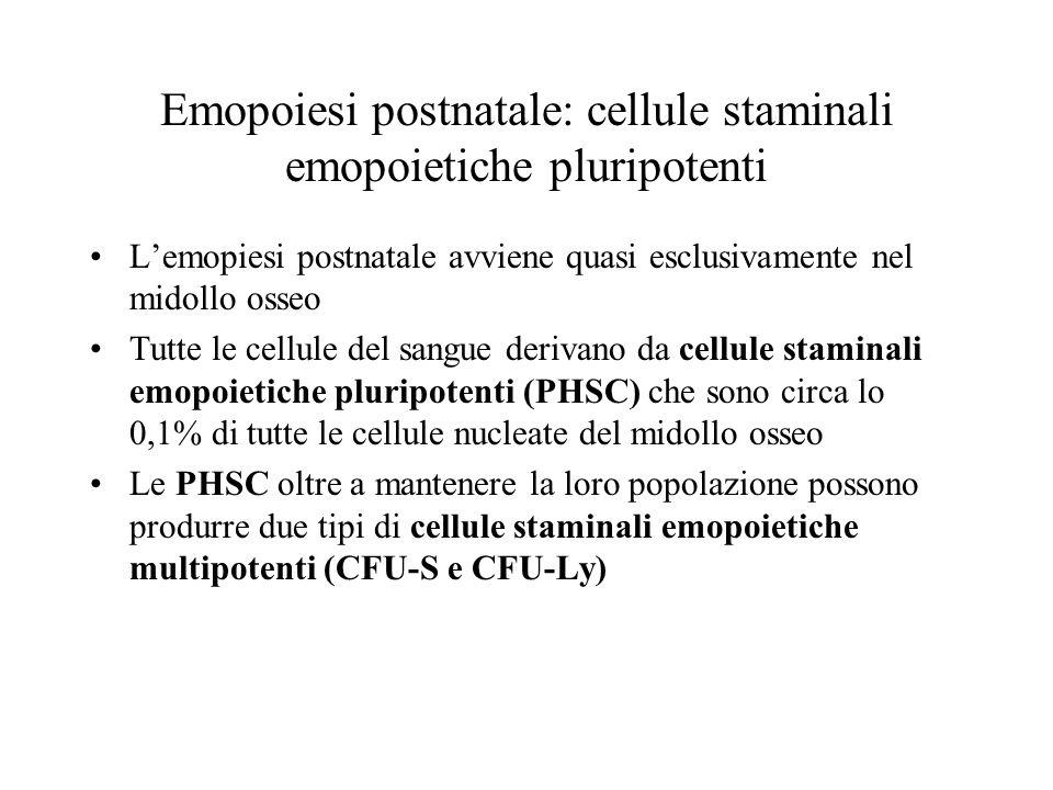 Emopoiesi postnatale: cellule staminali emopoietiche pluripotenti Lemopiesi postnatale avviene quasi esclusivamente nel midollo osseo Tutte le cellule