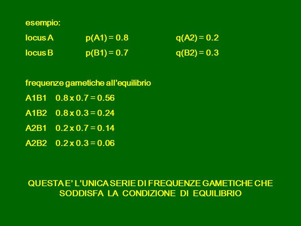 esempio: locus Ap(A1) = 0.8q(A2) = 0.2 locus Bp(B1) = 0.7q(B2) = 0.3 frequenze gametiche allequilibrio A1B10.8 x 0.7 = 0.56 A1B2 0.8 x 0.3 = 0.24 A2B1 0.2 x 0.7 = 0.14 A2B20.2 x 0.3 = 0.06 QUESTA E LUNICA SERIE DI FREQUENZE GAMETICHE CHE SODDISFA LA CONDIZIONE DI EQUILIBRIO