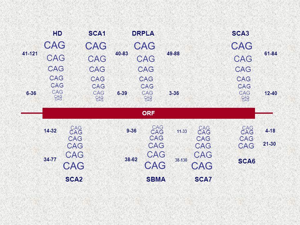 ORF CAG HDSCA1DRPLASCA3 SCA2SBMASCA7 SCA6 61-84 12-40 49-88 3-36 41-121 6-36 40-83 6-39 14-32 34-77 9-36 38-62 11-33 38-130 4-18 21-30