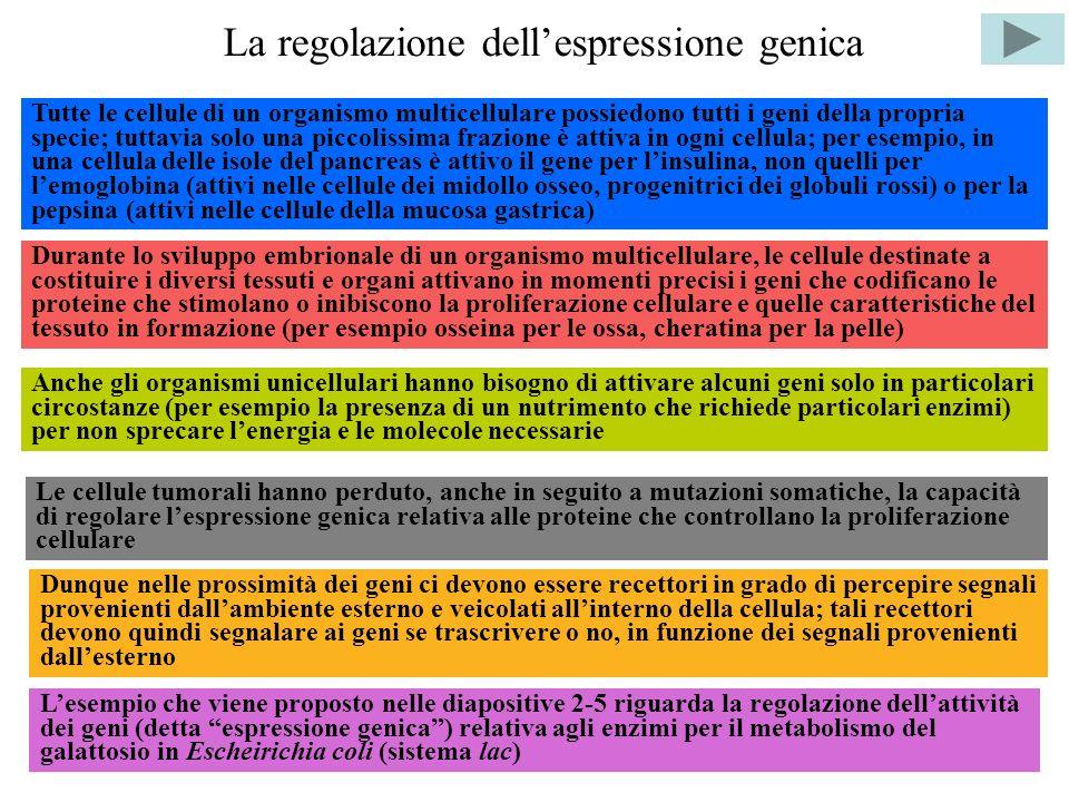 La regolazione dellespressione genica Tutte le cellule di un organismo multicellulare possiedono tutti i geni della propria specie; tuttavia solo una piccolissima frazione è attiva in ogni cellula; per esempio, in una cellula delle isole del pancreas è attivo il gene per linsulina, non quelli per lemoglobina (attivi nelle cellule dei midollo osseo, progenitrici dei globuli rossi) o per la pepsina (attivi nelle cellule della mucosa gastrica) Durante lo sviluppo embrionale di un organismo multicellulare, le cellule destinate a costituire i diversi tessuti e organi attivano in momenti precisi i geni che codificano le proteine che stimolano o inibiscono la proliferazione cellulare e quelle caratteristiche del tessuto in formazione (per esempio osseina per le ossa, cheratina per la pelle) Anche gli organismi unicellulari hanno bisogno di attivare alcuni geni solo in particolari circostanze (per esempio la presenza di un nutrimento che richiede particolari enzimi) per non sprecare lenergia e le molecole necessarie Le cellule tumorali hanno perduto, anche in seguito a mutazioni somatiche, la capacità di regolare lespressione genica relativa alle proteine che controllano la proliferazione cellulare Lesempio che viene proposto nelle diapositive 2-5 riguarda la regolazione dellattività dei geni (detta espressione genica) relativa agli enzimi per il metabolismo del galattosio in Escheirichia coli (sistema lac) Dunque nelle prossimità dei geni ci devono essere recettori in grado di percepire segnali provenienti dallambiente esterno e veicolati allinterno della cellula; tali recettori devono quindi segnalare ai geni se trascrivere o no, in funzione dei segnali provenienti dallesterno