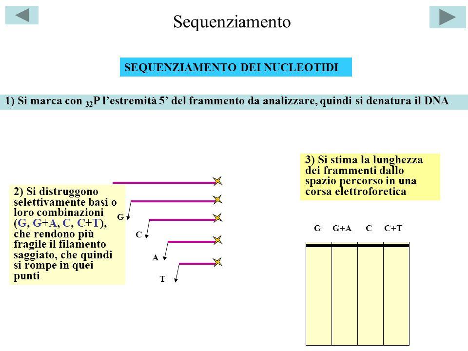 Sequenziamento SEQUENZIAMENTO DEI NUCLEOTIDI C 1) Si marca con 32 P lestremità 5 del frammento da analizzare, quindi si denatura il DNA 2) Si distruggono selettivamente basi o loro combinazioni (G, G+A, C, C+T), che rendono più fragile il filamento saggiato, che quindi si rompe in quei punti G A T GG+ACC+T 3) Si stima la lunghezza dei frammenti dallo spazio percorso in una corsa elettroforetica