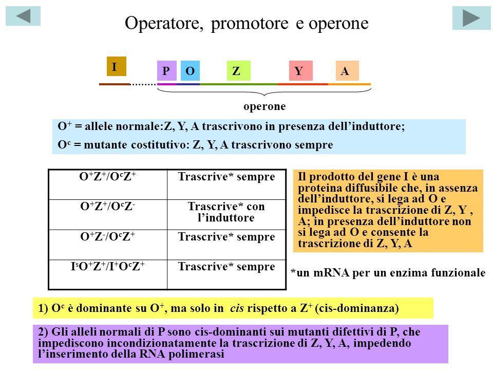 Operatore, promotore e operone O + Z + /O c Z + Trascrive* sempre O + Z + /O c Z - Trascrive* con linduttore O + Z - /O c Z + Trascrive* sempre I s O + Z + /I + O c Z + Trascrive* sempre O + = allele normale:Z, Y, A trascrivono in presenza dellinduttore; O c = mutante costitutivo: Z, Y, A trascrivono sempre ZYAO 1) O c è dominante su O +, ma solo in cis rispetto a Z + (cis-dominanza) P 2) Gli alleli normali di P sono cis-dominanti sui mutanti difettivi di P, che impediscono incondizionatamente la trascrizione di Z, Y, A, impedendo linserimento della RNA polimerasi I operone Il prodotto del gene I è una proteina diffusibile che, in assenza dellinduttore, si lega ad O e impedisce la trascrizione di Z, Y, A; in presenza dellinduttore non si lega ad O e consente la trascrizione di Z, Y, A *un mRNA per un enzima funzionale