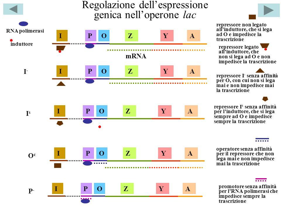 Regolazione dellespressione genica nelloperone lac ZYAOPI RNA polimerasi repressore non legato allinduttore, che si lega ad O e impedisce la trascrizione induttore repressore legato allinduttore, che non si lega ad O e non impedisce la trascrizione repressore I - senza affinità per O, con cui non si lega mai e non impedisce mai la trascrizione repressore I s senza affinità per linduttore, che si lega sempre ad O e impedisce sempre la trascrizione mRNA ZYAOPI I-I- IsIs ZYAOPI ZYAOPI OcOc P-P- operatore senza affinità per il repressore che non lega mai e non impedisce mai la trascrizione promotore senza affinità per lRNA polimerasi che impedisce sempre la trascrizione ZYAOPI