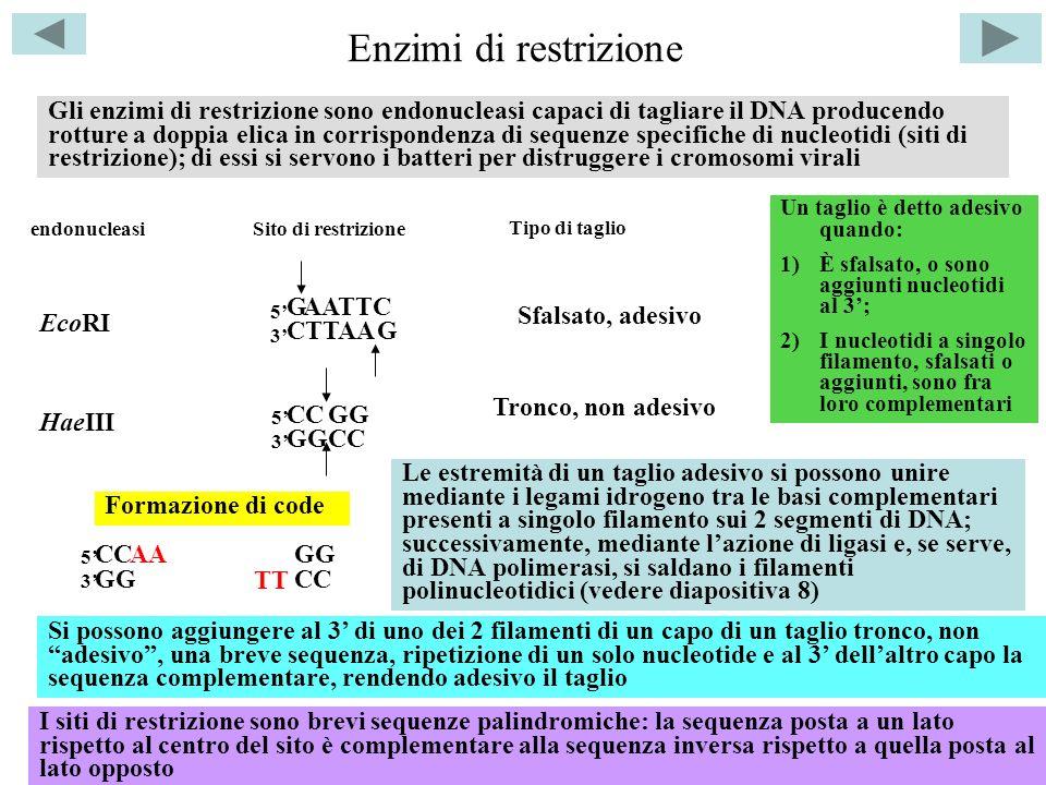 Enzimi di restrizione Gli enzimi di restrizione sono endonucleasi capaci di tagliare il DNA producendo rotture a doppia elica in corrispondenza di sequenze specifiche di nucleotidi (siti di restrizione); di essi si servono i batteri per distruggere i cromosomi virali EcoRI HaeIII AATTC endonucleasi G CTTAAG Sito di restrizione Tipo di taglio Sfalsato, adesivo CC GG 5353 5353 Tronco, non adesivo I siti di restrizione sono brevi sequenze palindromiche: la sequenza posta a un lato rispetto al centro del sito è complementare alla sequenza inversa rispetto a quella posta al lato opposto Formazione di code CC GG 5353 CC GGAA TT Si possono aggiungere al 3 di uno dei 2 filamenti di un capo di un taglio tronco, non adesivo, una breve sequenza, ripetizione di un solo nucleotide e al 3 dellaltro capo la sequenza complementare, rendendo adesivo il taglio Un taglio è detto adesivo quando: 1)È sfalsato, o sono aggiunti nucleotidi al 3; 2)I nucleotidi a singolo filamento, sfalsati o aggiunti, sono fra loro complementari Le estremità di un taglio adesivo si possono unire mediante i legami idrogeno tra le basi complementari presenti a singolo filamento sui 2 segmenti di DNA; successivamente, mediante lazione di ligasi e, se serve, di DNA polimerasi, si saldano i filamenti polinucleotidici (vedere diapositiva 8)