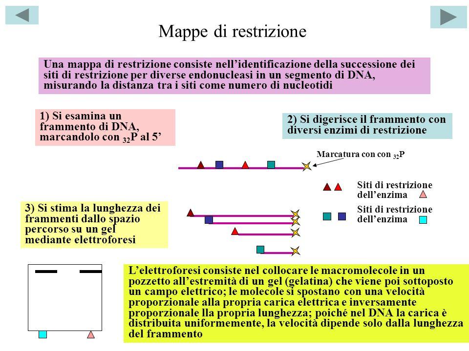Mappe di restrizione 1) Si esamina un frammento di DNA, marcandolo con 32 P al 5 2) Si digerisce il frammento con diversi enzimi di restrizione 3) Si stima la lunghezza dei frammenti dallo spazio percorso su un gel mediante elettroforesi Una mappa di restrizione consiste nellidentificazione della successione dei siti di restrizione per diverse endonucleasi in un segmento di DNA, misurando la distanza tra i siti come numero di nucleotidi Lelettroforesi consiste nel collocare le macromolecole in un pozzetto allestremità di un gel (gelatina) che viene poi sottoposto un campo elettrico; le molecole si spostano con una velocità proporzionale alla propria carica elettrica e inversamente proporzionale lla propria lunghezza; poiché nel DNA la carica è distribuita uniformemente, la velocità dipende solo dalla lunghezza del frammento Siti di restrizione dellenzima Marcatura con con 32 P