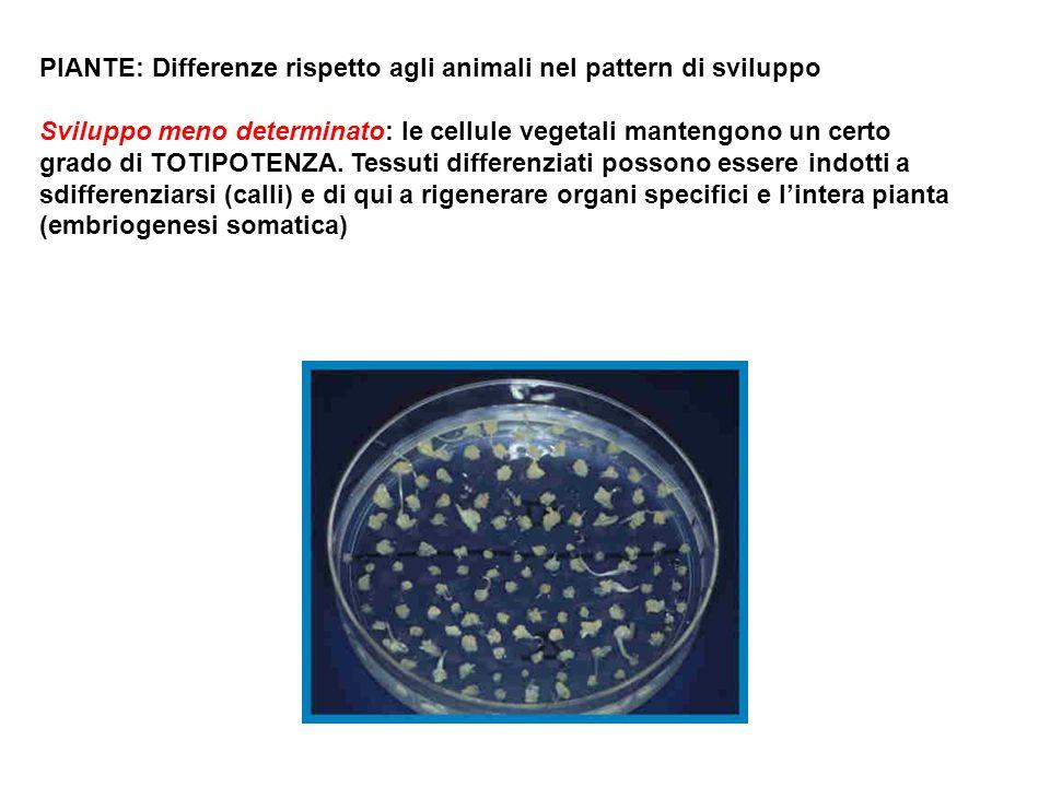 PIANTE: Differenze rispetto agli animali nel pattern di sviluppo Sviluppo meno determinato: le cellule vegetali mantengono un certo grado di TOTIPOTEN