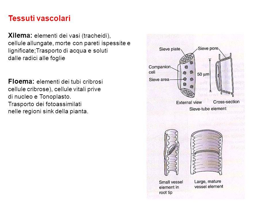 Tessuti vascolari Xilema: elementi dei vasi (tracheidi), cellule allungate, morte con pareti ispessite e lignificate;Trasporto di acqua e soluti dalle