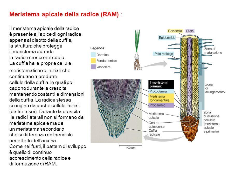 Meristema apicale della radice (RAM) : Il meristema apicale della radice è presente allapice di ogni radice, appena al disotto della cuffia, la strutt