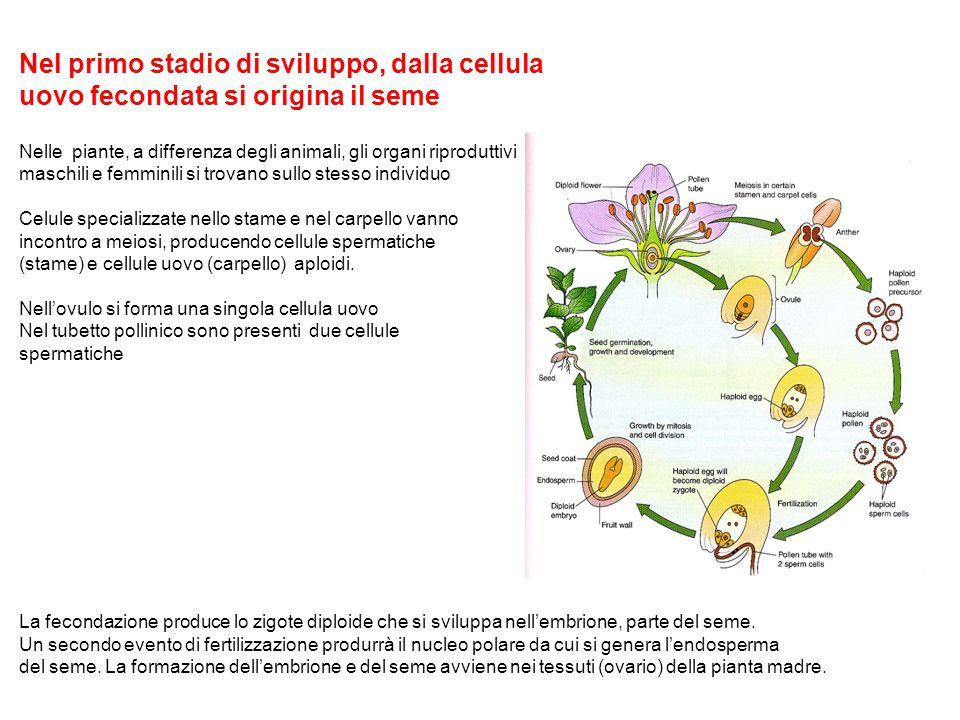 Nel primo stadio di sviluppo, dalla cellula uovo fecondata si origina il seme Nelle piante, a differenza degli animali, gli organi riproduttivi maschi