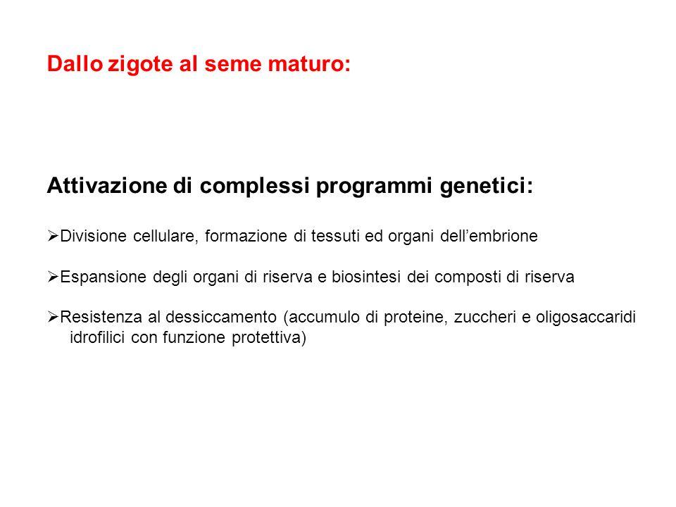 Dallo zigote al seme maturo: Attivazione di complessi programmi genetici: Divisione cellulare, formazione di tessuti ed organi dellembrione Espansione