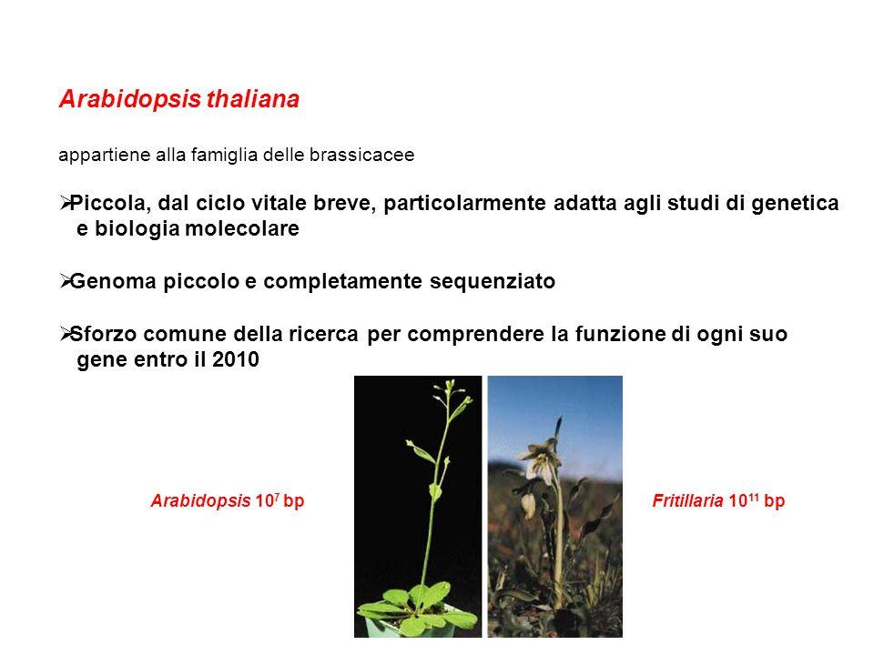 Arabidopsis thaliana appartiene alla famiglia delle brassicacee Piccola, dal ciclo vitale breve, particolarmente adatta agli studi di genetica e biolo