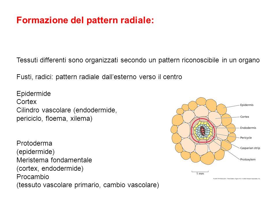 Formazione del pattern radiale: Tessuti differenti sono organizzati secondo un pattern riconoscibile in un organo Fusti, radici: pattern radiale dalle