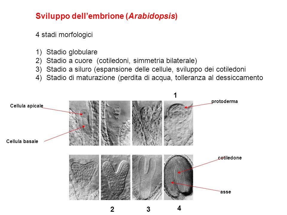 Sviluppo dellembrione (Arabidopsis) 4 stadi morfologici 1)Stadio globulare 2)Stadio a cuore (cotiledoni, simmetria bilaterale) 3)Stadio a siluro (espa