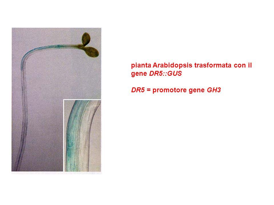 pianta Arabidopsis trasformata con il gene DR5::GUS DR5 = promotore gene GH3