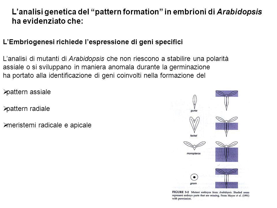 LEmbriogenesi richiede lespressione di geni specifici Lanalisi di mutanti di Arabidopsis che non riescono a stabilire una polarità assiale o si svilup