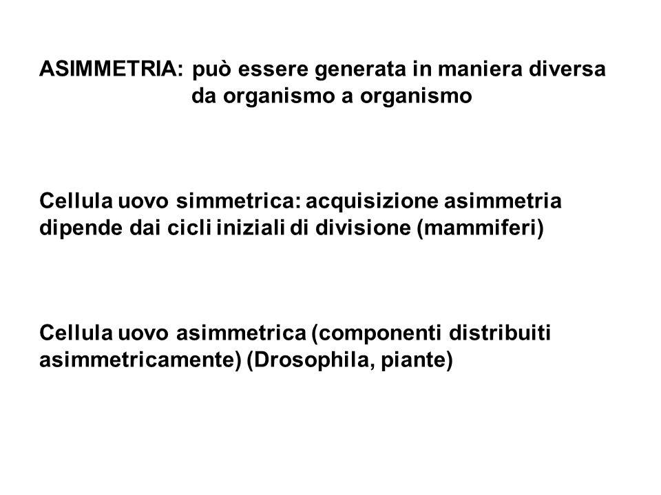 ASIMMETRIA: può essere generata in maniera diversa da organismo a organismo Cellula uovo simmetrica: acquisizione asimmetria dipende dai cicli inizial