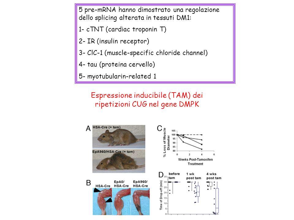 Espressione inducibile (TAM) dei ripetizioni CUG nel gene DMPK 5 pre-mRNA hanno dimostrato una regolazione dello splicing alterata in tessuti DM1: 1-