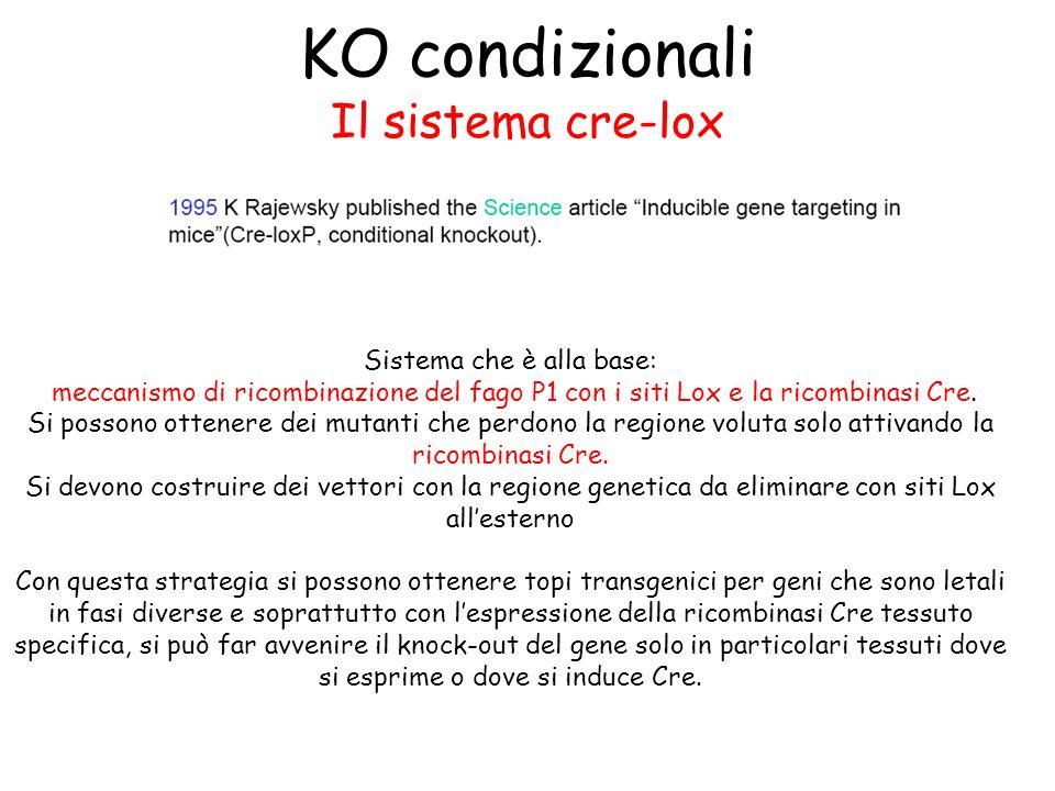 KO condizionali Il sistema cre-lox Sistema che è alla base: meccanismo di ricombinazione del fago P1 con i siti Lox e la ricombinasi Cre. Si possono o