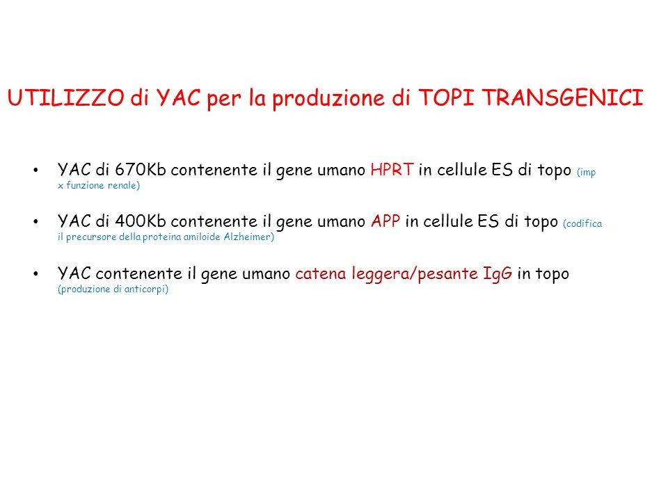 YAC di 670Kb contenente il gene umano HPRT in cellule ES di topo (imp x funzione renale) YAC di 400Kb contenente il gene umano APP in cellule ES di to