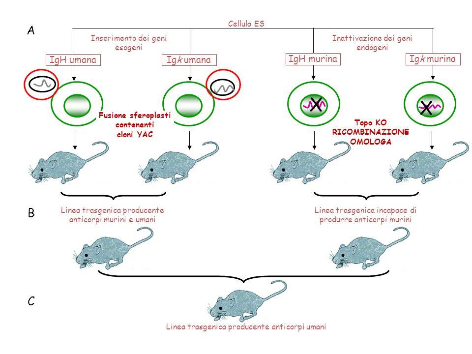 X X Cellula ES Inattivazione dei geni endogeni IgH murinaIgk murina IgH umanaIgk umana Linea trasgenica producente anticorpi umani Inserimento dei gen