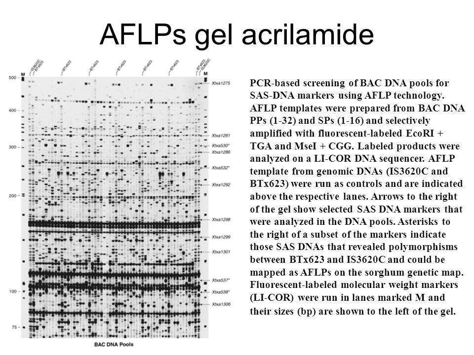 AFLPs gel acrilamide PCR-based screening of BAC DNA pools for SAS-DNA markers using AFLP technology. AFLP templates were prepared from BAC DNA PPs (1-
