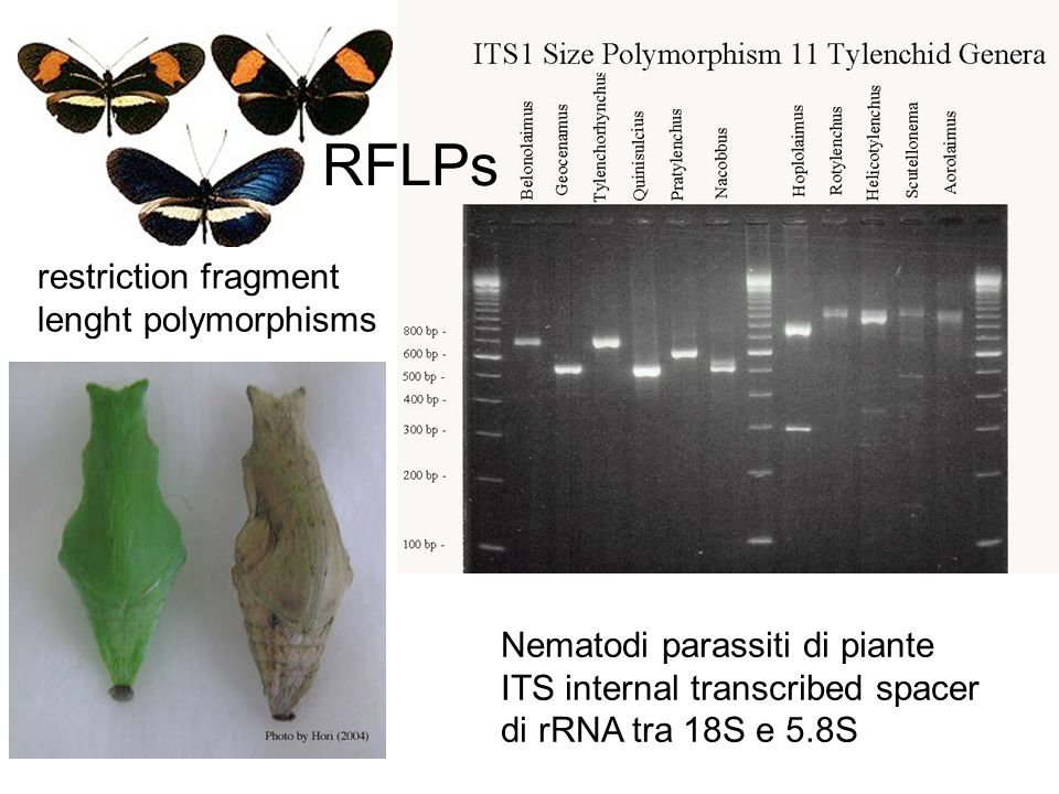 Nematodi parassiti di piante ITS internal transcribed spacer di rRNA tra 18S e 5.8S RFLPs restriction fragment lenght polymorphisms