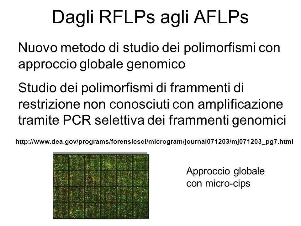 Dagli RFLPs agli AFLPs Nuovo metodo di studio dei polimorfismi con approccio globale genomico Studio dei polimorfismi di frammenti di restrizione non
