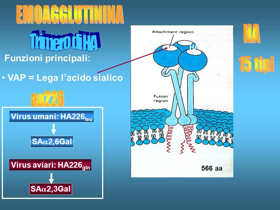 Funzioni principali: VAP = Lega lacido sialico HA1 566 aa Virus aviari: HA226 gln SA 2,6Gal SA 2,3Gal Virus umani: HA226 leu