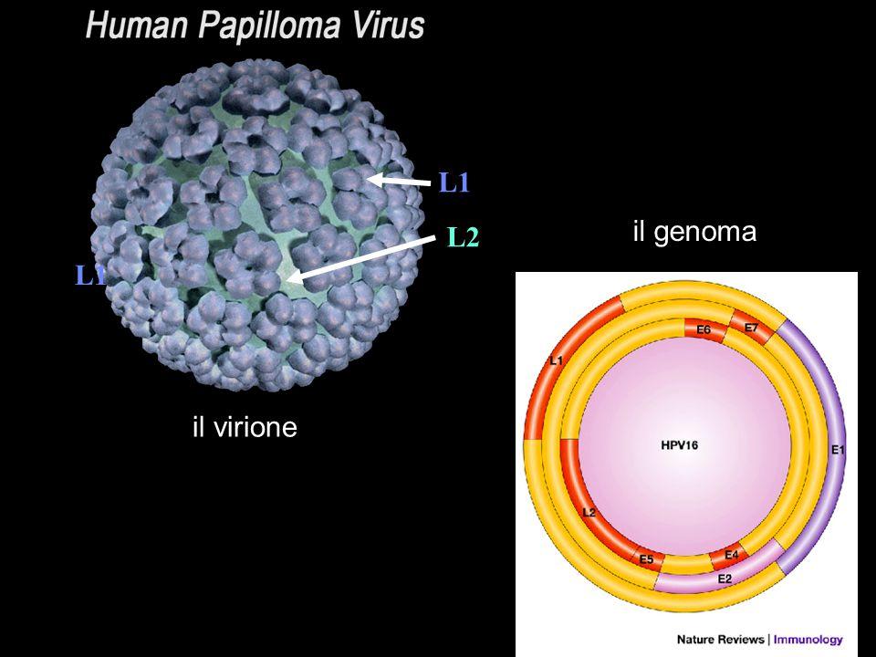 L1 L2 il virione il genoma