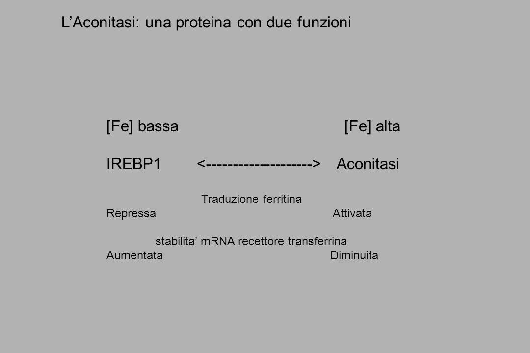 LAconitasi: una proteina con due funzioni [Fe] bassa [Fe] alta IREBP1 Aconitasi Traduzione ferritina Repressa Attivata stabilita mRNA recettore transf