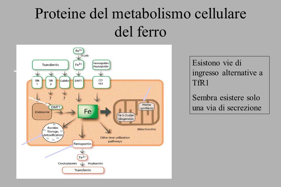 Proteine del metabolismo cellulare del ferro Esistono vie di ingresso alternative a TfR1 Sembra esistere solo una via di secrezione