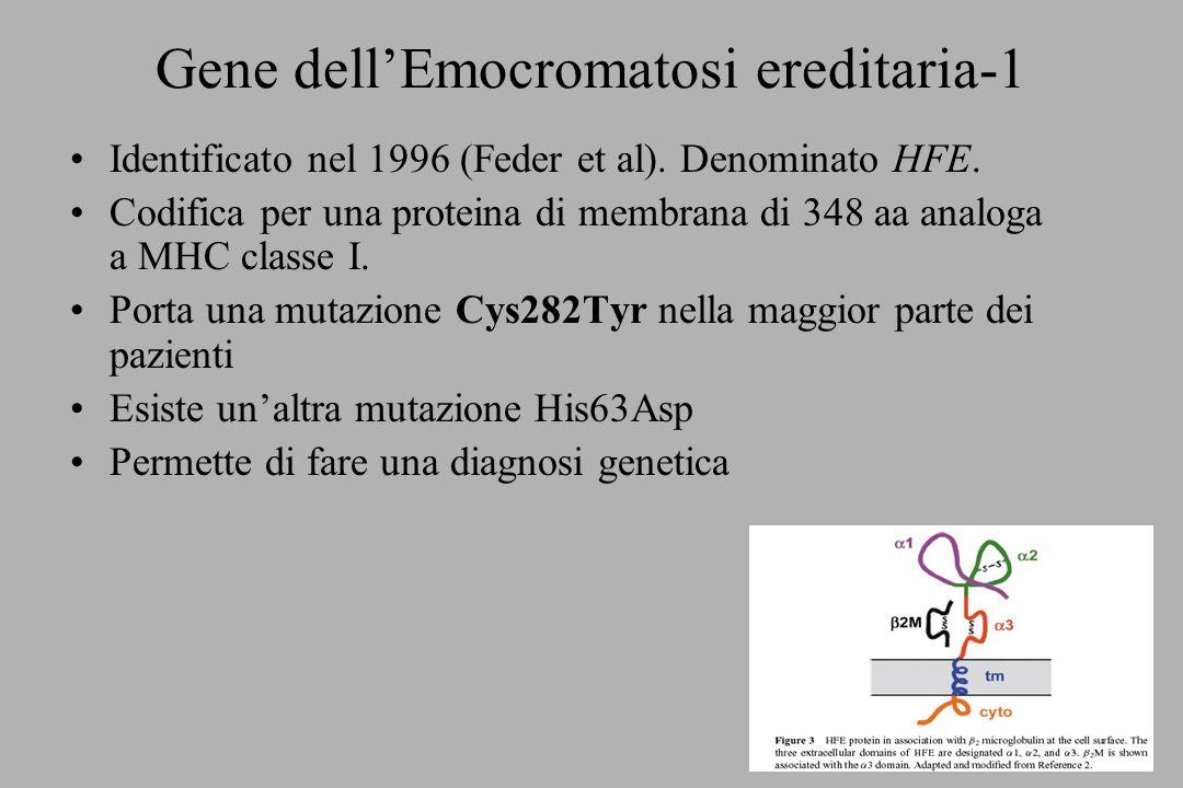 Gene dellEmocromatosi ereditaria-1 Identificato nel 1996 (Feder et al). Denominato HFE. Codifica per una proteina di membrana di 348 aa analoga a MHC