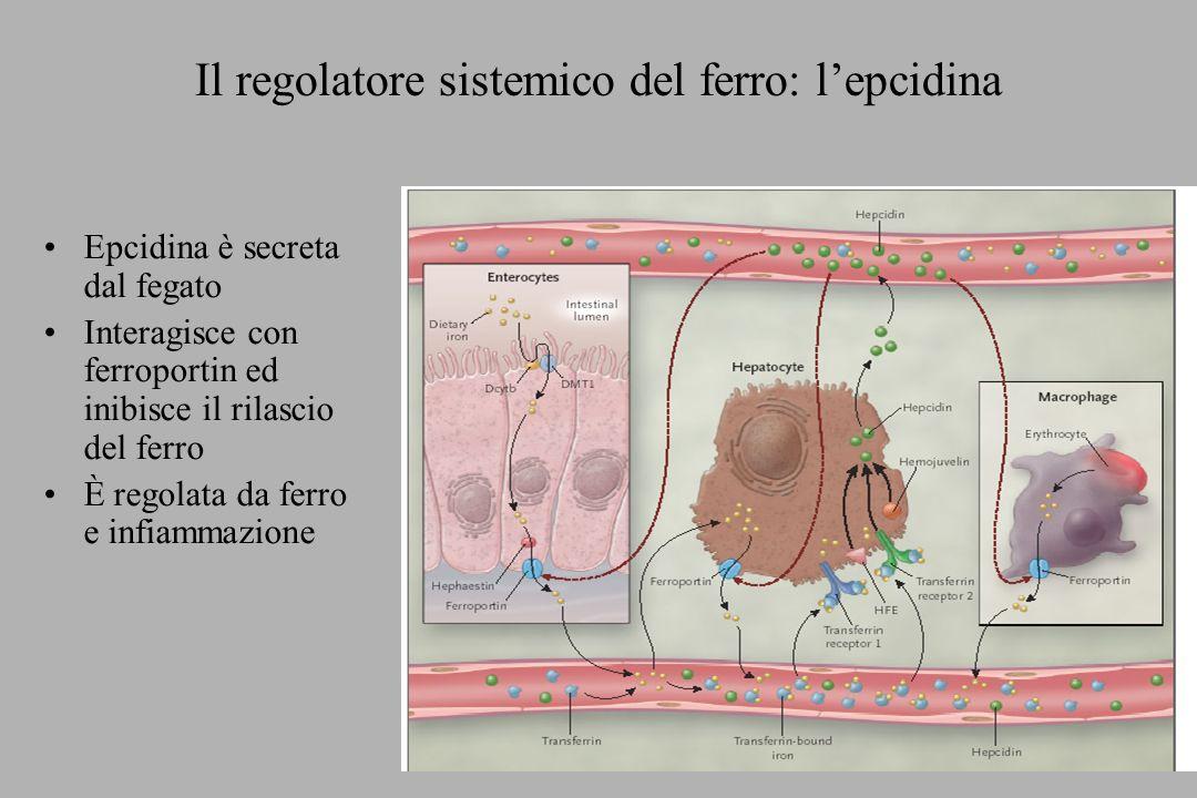 Il regolatore sistemico del ferro: lepcidina Epcidina è secreta dal fegato Interagisce con ferroportin ed inibisce il rilascio del ferro È regolata da
