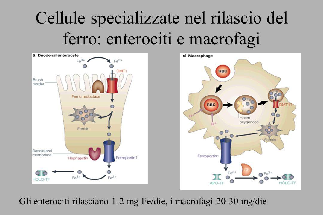 Cellule specializzate nel rilascio del ferro: enterociti e macrofagi Gli enterociti rilasciano 1-2 mg Fe/die, i macrofagi 20-30 mg/die