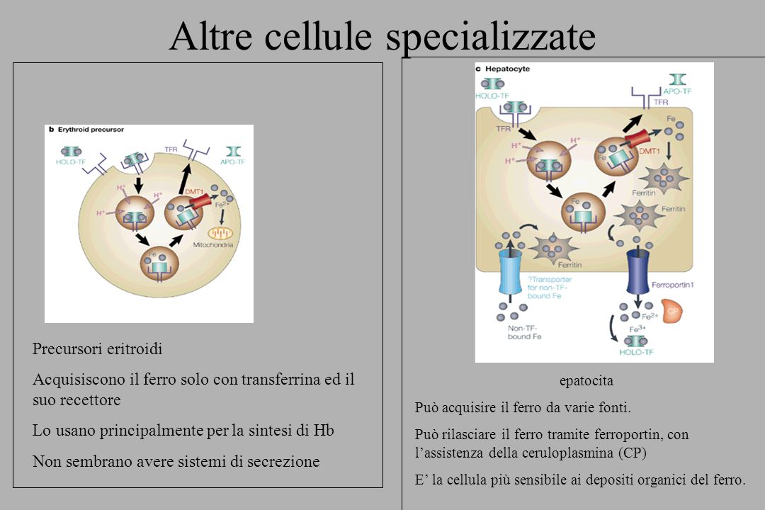 Il ciclo della transferrina La Fe-transferrina si lega al recettore (TfR) Il complesso è internalizzato negli endosomi Il ferro è rilasciato e trasportato nel citosol da DMT1 Esso è usato per la sintesi di enzimi e depositato nella ferritina