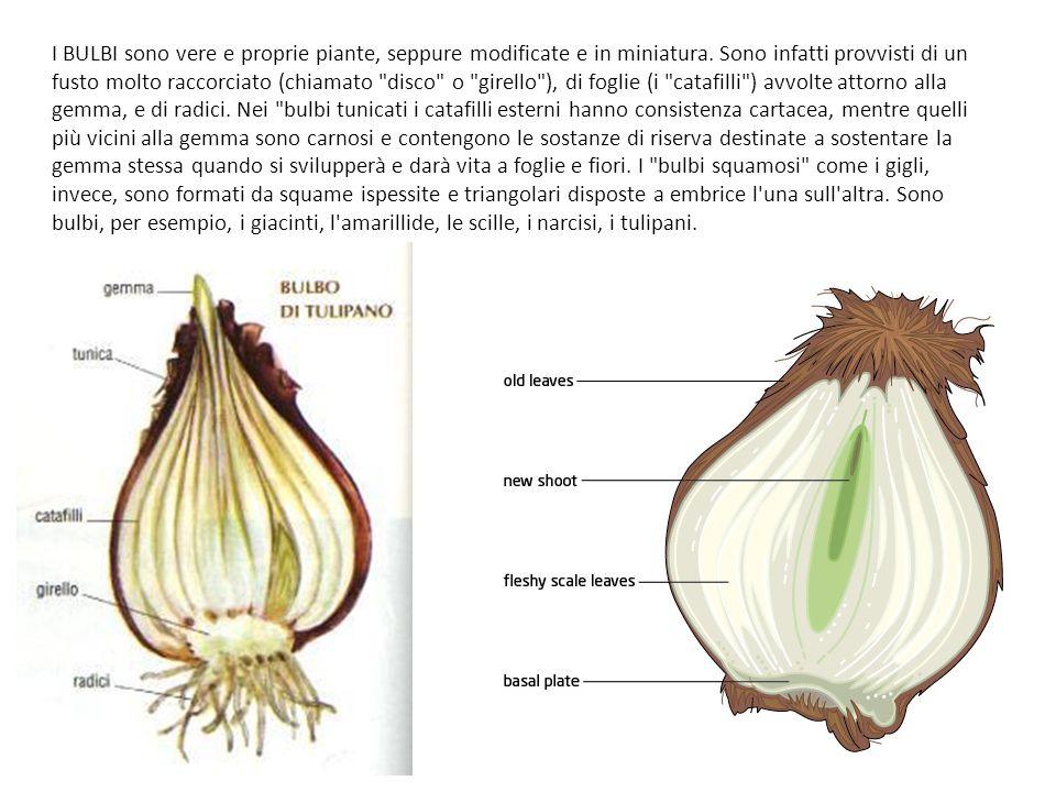 I BULBI sono vere e proprie piante, seppure modificate e in miniatura. Sono infatti provvisti di un fusto molto raccorciato (chiamato