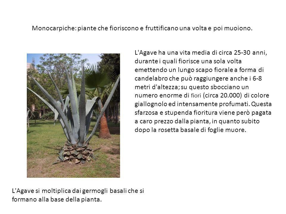 Monocarpiche: piante che fioriscono e fruttificano una volta e poi muoiono. L'Agave si moltiplica dai germogli basali che si formano alla base della p