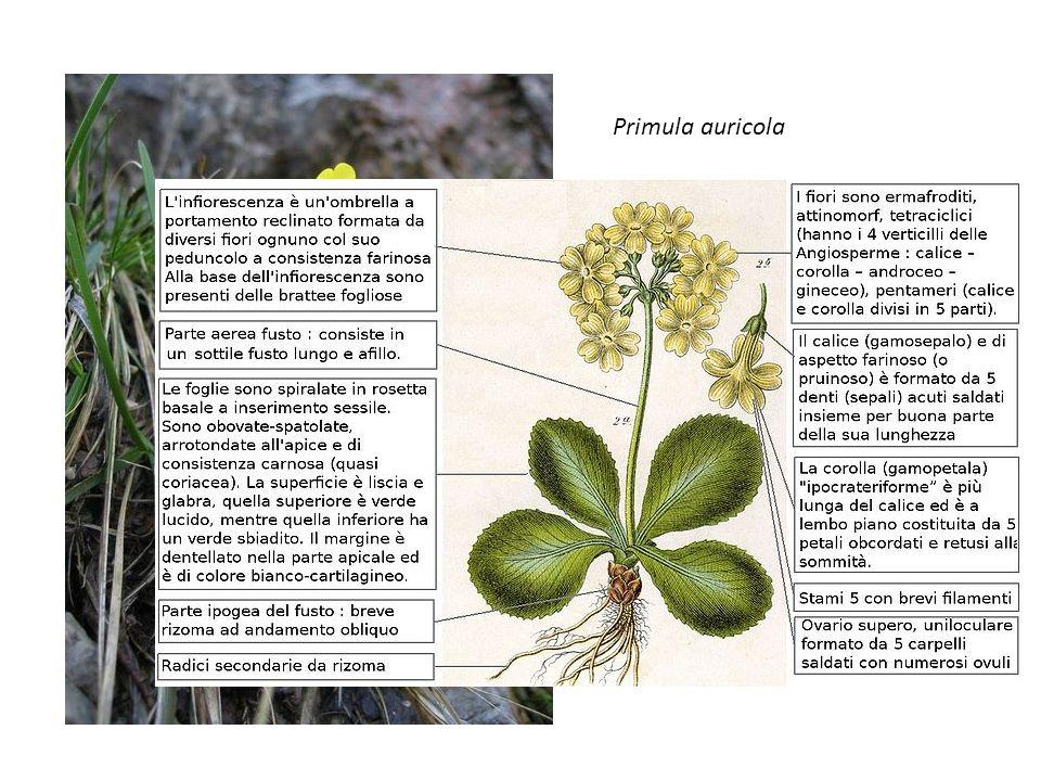 Primula auricola